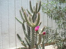 ARIZONA - PENCIL, CHOLLA CACTUS ARMS - 2 LIVE PLANTS !