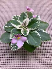 African Violet Plant *N-Chudesa V Reshete * Miniature