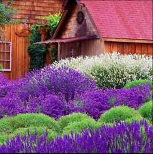 200 pcs English Lavender (Lavandula Angustifolia ) vanilla seeds