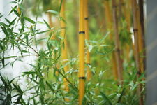 "Golden Bamboo Phyllostachys Aurea 12"" Rhizome Culm Privacy Fencing & Grow Guide"
