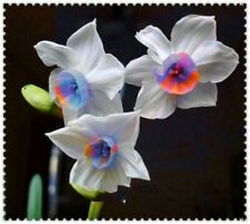 20 pcs Daffodils Seed Narcissus Seeds, Daffodils Seeds Of Aquatic Plants 102