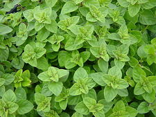 Oregano Seeds, Greek, Heirloom Herb, Non-Gmo, Most Flavorful & Aromatic, 100ct