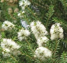 Melaleuca lanceolata in 50mm forestry tube native plant screen hedge windbreak