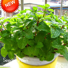 Promotion!Aromatic Plant bonsai Perfume Mint Balcony Potted Herb Mint flores DIY