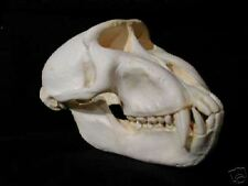 Celebes Crested Macaque Skull  REPLICA.
