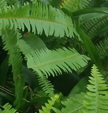 3 Live Rooted Boston Fern Houseplant 10-13 Inches