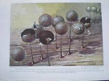 Lamproderma Arcyrionema Spore William Crowder 1926