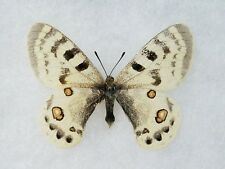 Parnassius inopinatus muetingi Afghanistan Framed Butterfly Insect Collection