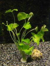 Brasilianischer Wassernabel - Hydrocotyle leucocephala, Wasserpflanzen