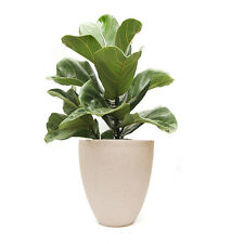 "Ficus Lyrata Living Gift 200mm 8"" pot SPECIAL $99 - Indoor Office Feature Plant"