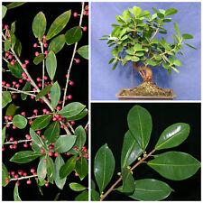10 seeds of Ficus americana,bonsai seeds R