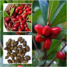 MIRACLE FRUIT Synsepalum dulcificum tropical exotic berry RARE Seasonal 10 Seeds