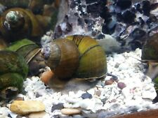 5 Live Large Trapdoor Snails Freshwater Aquarium Pond Algae Eaters Clean Up Crew