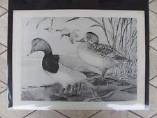 Original   1930 Rex Brasher #146  Hand Painted Bird Print  Redhead  #146REX2 DSS