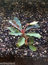 Bucephalandra Red Mini - Rare Live Aquarium Plants - Super Rare 1 Small Rhizome