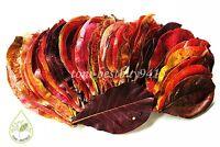 50 pcs x Size 5-6 Indian Almond Leaf Catappa Leaves Ketapang Betta Cherry Shrim