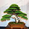 50 PCS Seeds Juniper Bonsai Tree Potted Flowers Garden Plants Free Shipping New