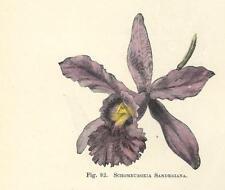 Stampa antica FIORE ORCHIDEA SCHOMBURGKIA SANDERIANA botanica 1896 Antique print