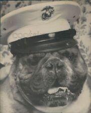 1965 Press Photo Cute US Marine English Bull Dog Klinker O'Woodsea in Hat