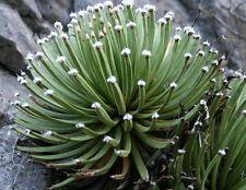 10 semi-Agave albopilosa-bianco ciuffo Agave