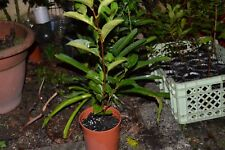 CAMELIA SINENSIS - 1 PLANT x Tea Plants - Green Black Tea