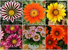 100Pcs Gazania Perennial Flower Seeds Rare 7 Kind Color Fragrant Ornament Garden