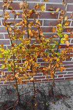 Rotbuchen 1st. 80-120cm  Heckenpflanzen % Super Sale % Rotbuche