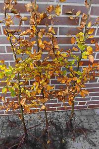 Rotbuchen 1st. 60-80cm Forstpflanzen % Super Sale % Rotbuche  Wurzelware