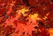 Korean Maple (Acer pseudosieboldianum) 100 seeds Maple Bonsai