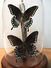 Spicebush Swallowtail Butterfly Dome