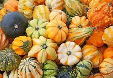 Decorative Pumpkin Faberge Seeds from Ukraine. 5 SEEDS