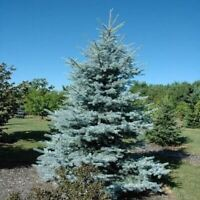 20 seed Evergreen Black pine Colorado Blue Spruce Picea Pungens Glauca Seeds