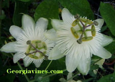 Passiflora White Wedding 10 seeds