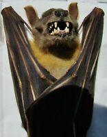 Real Lesser Short-nosed Fruit Bat Cynopterus brachyotis Hanging FAST FROM USA