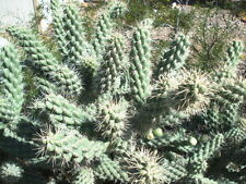 ARIZONA - SHORT THORN, CHOLLA CACTUS ARMS - 2 LIVE PLANTS !