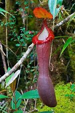 Nepenthes Edwardsiana ~ Splendid Pitcher Plant ~ Extremely RARE LIMITED 3 SEEDS