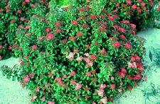 "Spiraea ""Crispa"" 3 Pink Flowering Shrubs, Bushes, Live Plants! FREE SHIPPING!"