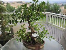 Laurel de La India FICUS BENJAMINA - 20 Semillas - Jardín árbol - Garden Samen