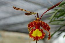 BIN-Psychopsis (Onc.) Mendenhall 'Hildos' FCC/AOS The Best! Collectors item!