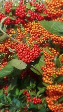 und nährpflanze im Container 40-60 cm 3 Stück Feuerdorn Orange Glow Vogelschutz