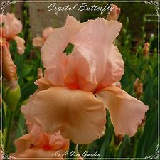 "TALL BEARDED IRIS GERMANICA ""CRYSTAL BUTTERFLY"" Delivery August -early Spetember"