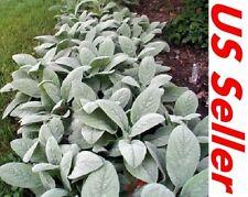 100 Seeds Lamb's Ear (Stachys Byzantina Lanata) B116 Flowering Plant Seeds