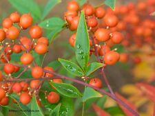 Chaparral Larrea tridentata  Heilpflanze 40 Samen VERSAND FREI !!!