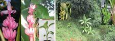 Essbare Bananen Sortiment winterhart bewurzelte Jungpflanzen bilden Ableger Deko