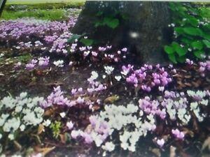 25 HARDY CYCLAMEN hederifolium SEEDS , ROCK GARDEN .WOODED AREA 100% Quality