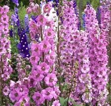 Fd1757 Pink Larkspur Seed Delphinium Consolida Flowers Seeds ~1 Pack 30 Seeds~ G