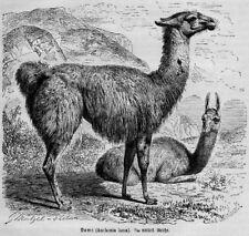 KAMELE Camelidae KAMEL LAMA Holzstich von 1891 Zoologie