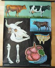 Schule Lehrtafel Biologie Rind vintage retro Wandkarte um 1970