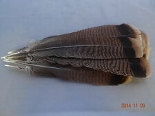 12 #1 JUVENILE EASTERN WILD TURKEY TAIL FEATHERS/FLY-TYING