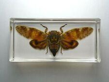PLATYPLEURA ARCUATA CICADA. Real Cicadidae insect resin encapsulation.